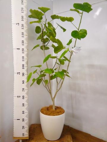 観葉植物 フィカス ウンベラータ 【165cm】 フィカス ウンベラータ 10号 #23231 ラスターポット付き