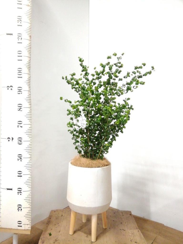 観葉植物 フィカス ベンジャミン 7号 バロック ファイバークレイ white 付き