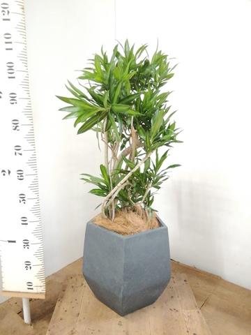 観葉植物 ドラセナ ソング オブ ジャマイカ 8号 ファイバークレイ Gray 付き
