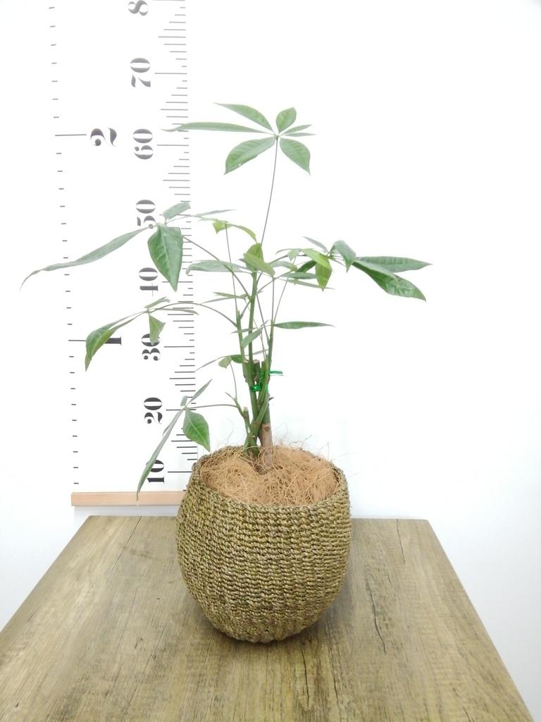 観葉植物 パキラ 4号 ねじり アバカバスケット オリーブ 付き