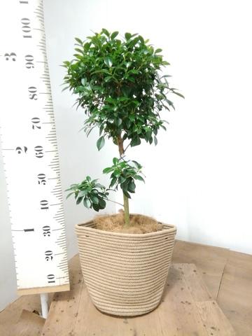 観葉植物 フィカス ナナ 7号 ノーマル リブバスケットNatural 付き