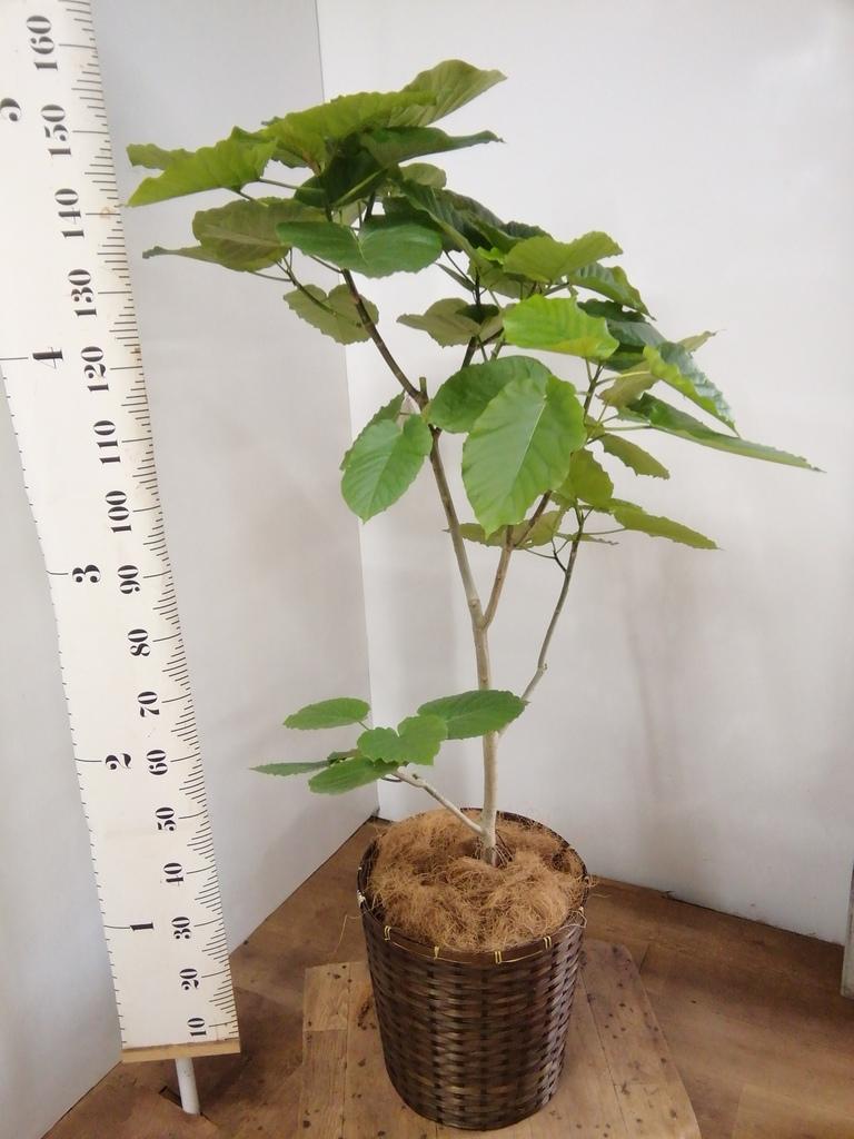 観葉植物 フィカス ウンベラータ 10号 ノーマル 竹バスケット 付き