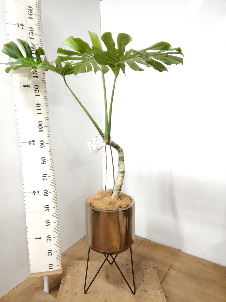観葉植物 モンステラ 8号 根上り ビトロ エンデカ ゴールド アイアンポットスタンド 付き