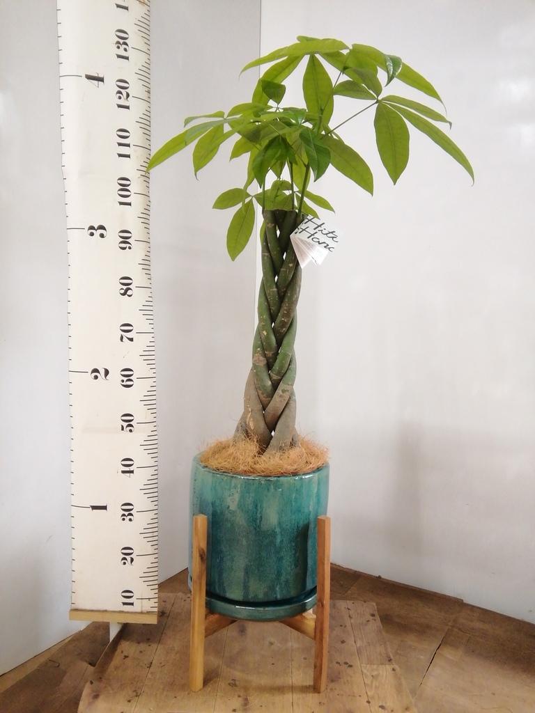 観葉植物 パキラ 8号 ねじり ビトロ エンデガ ターコイズ ウッドポットスタンド付き