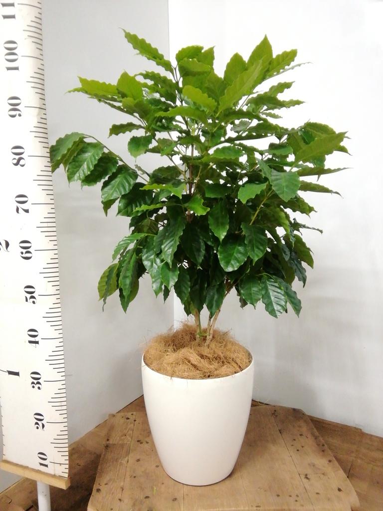 観葉植物 コーヒーの木 8号 ラスターポット 付き