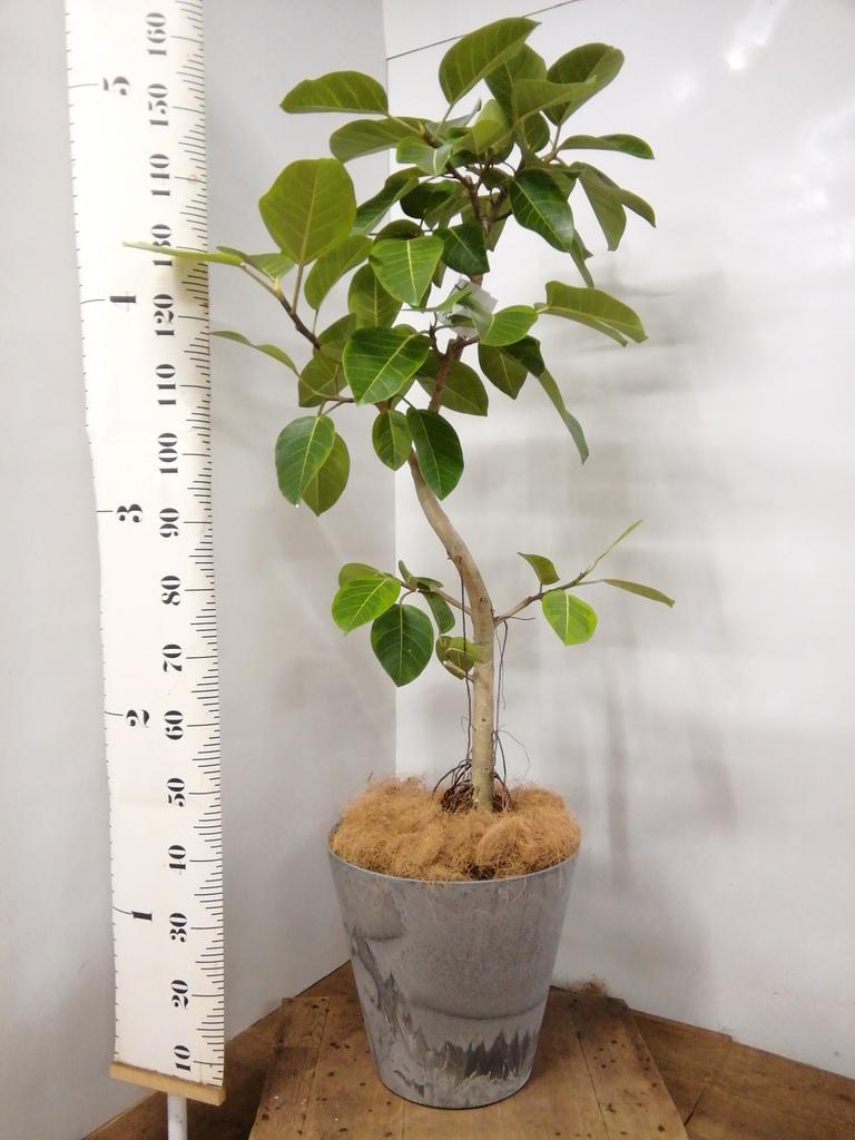 観葉植物 フィカス アルテシーマ 10号 曲り アートストーン ラウンド グレー 付き
