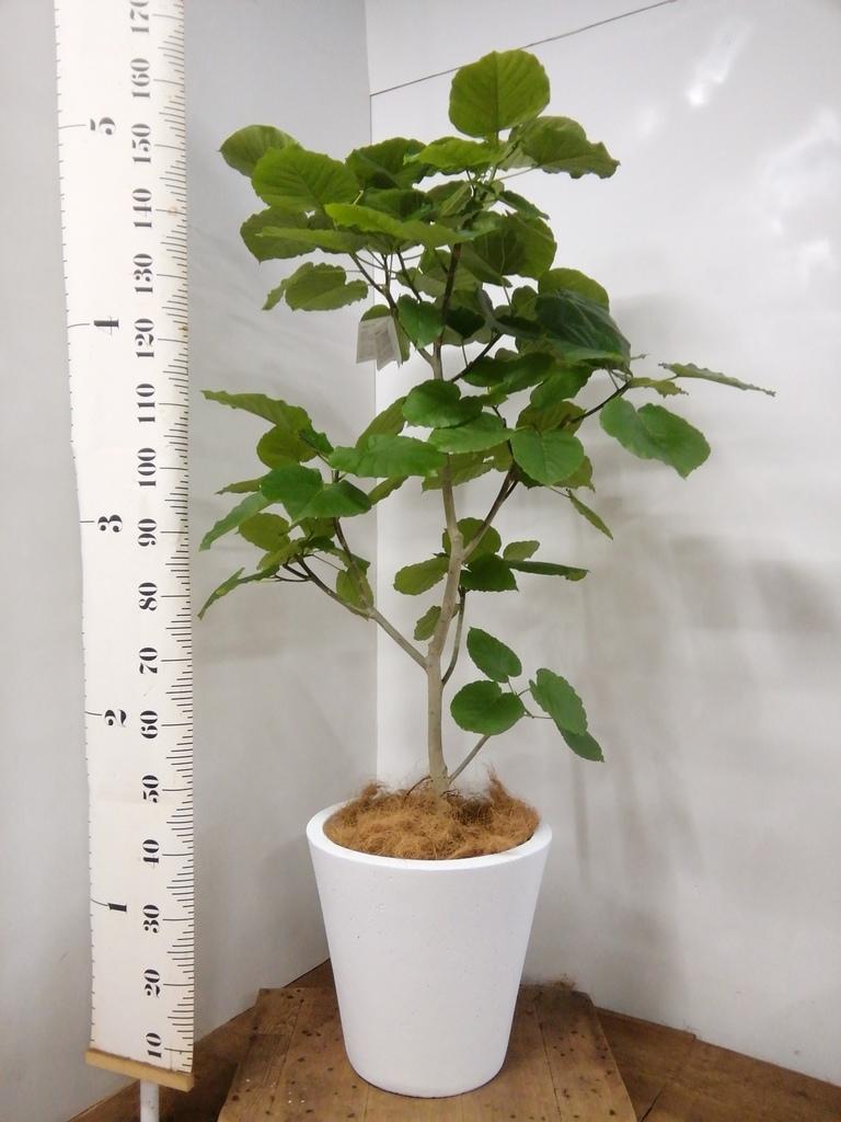 観葉植物 フィカス ウンベラータ 10号 ノーマル フォリオソリッド 白 付き