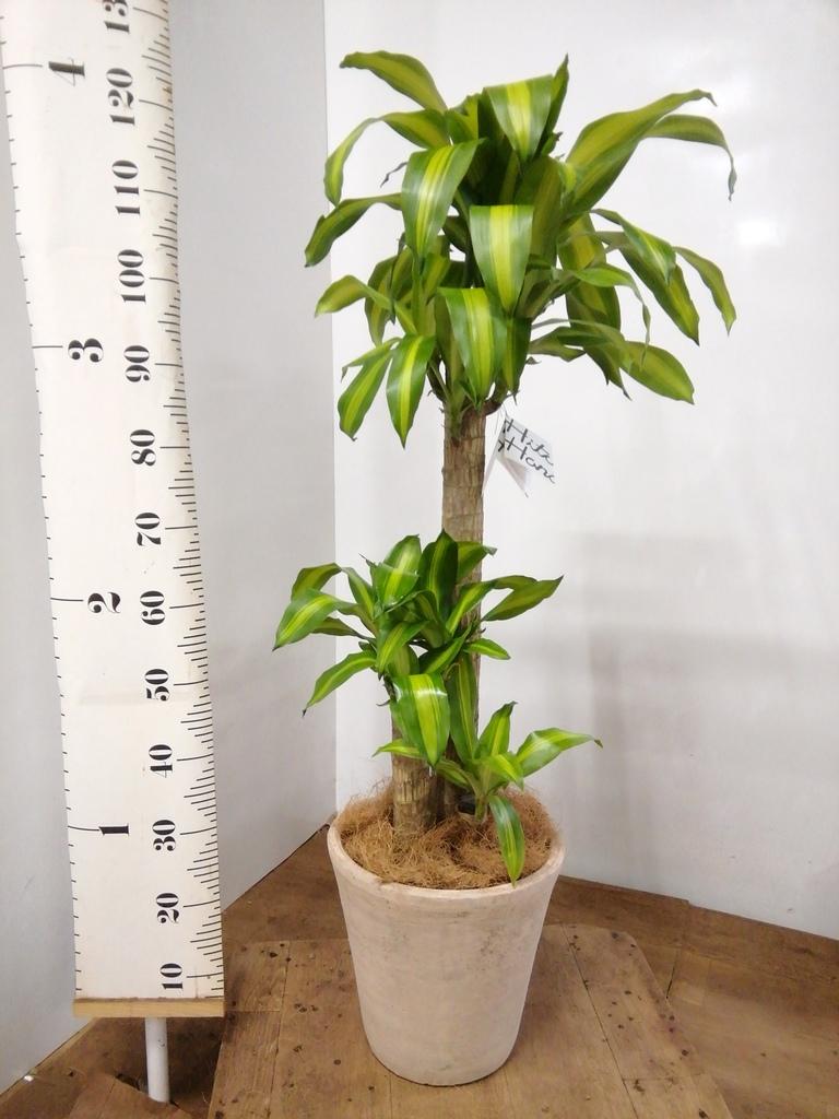 観葉植物 ドラセナ 幸福の木 8号 ノーマル ルーガ アンティコ ソリッド 付き