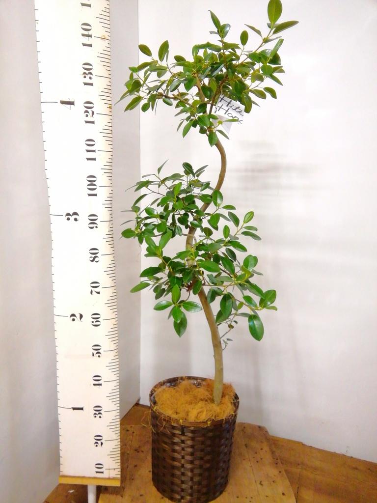 観葉植物 フランスゴムの木 8号 曲り 竹バスケット 付き