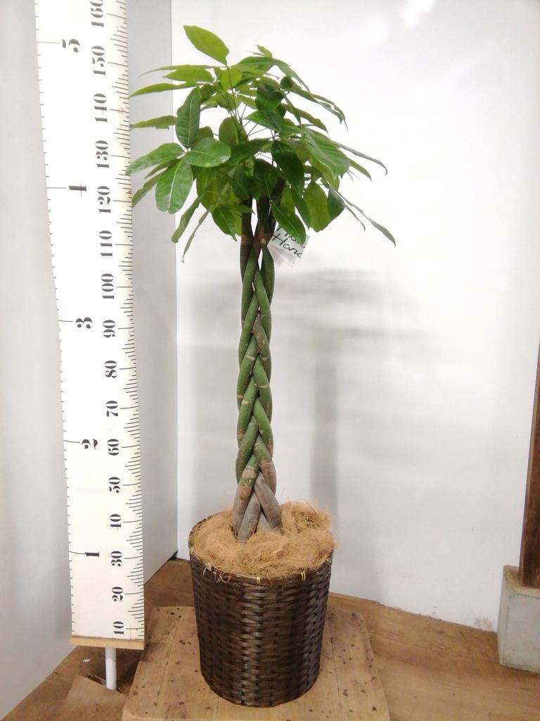 観葉植物 パキラ 10号 ねじり 竹バスケット 付き