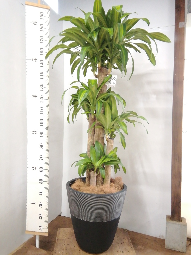 観葉植物 ドラセナ 幸福の木 10号 ノーマル ジュピター 黒 付き