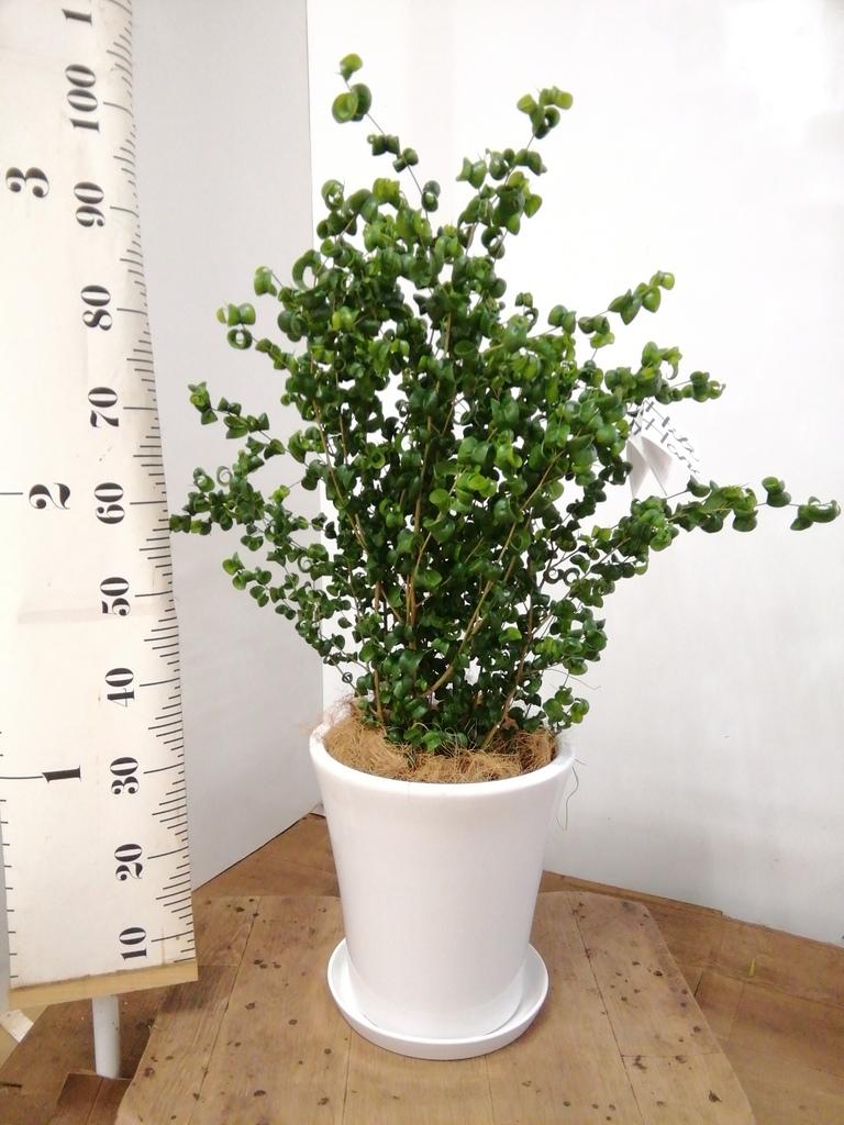 観葉植物 フィカス ベンジャミン 7号 バロック サブリナ 白 付き