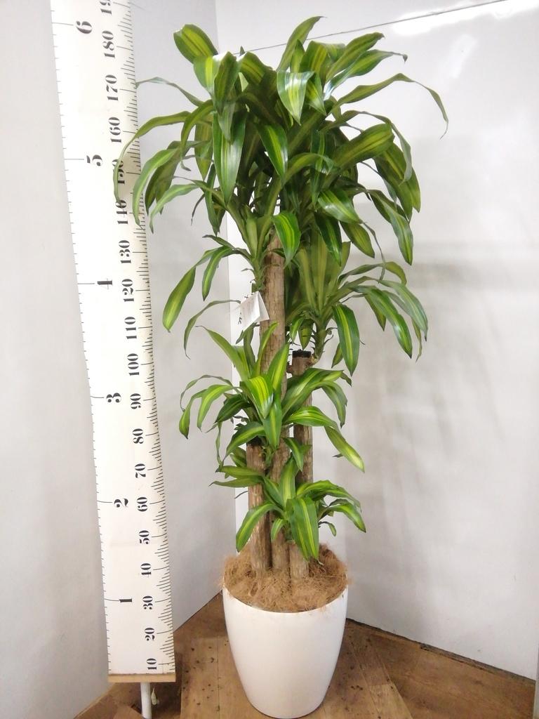 観葉植物 ドラセナ 幸福の木 10号 ノーマル ラスターポット 付き