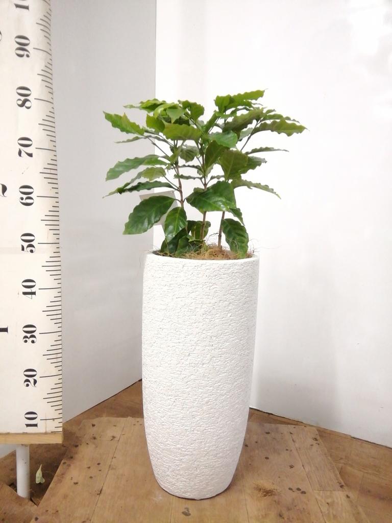 観葉植物 コーヒーの木 6号 エコストーントールタイプ white 付き