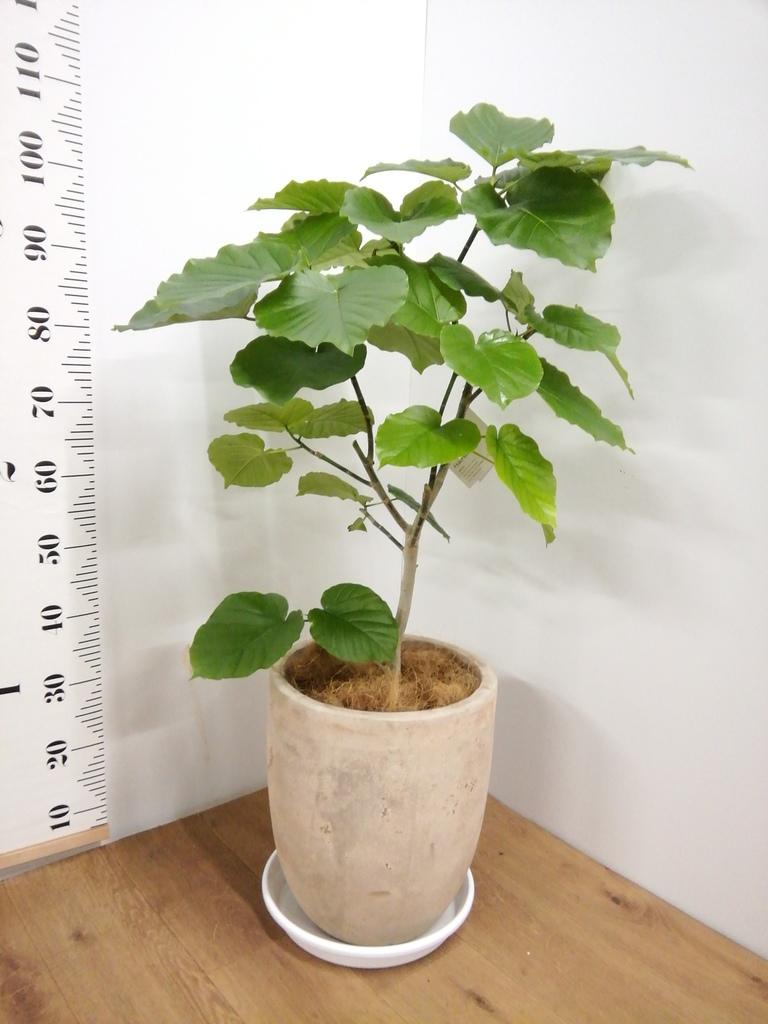 観葉植物 フィカス ウンベラータ 8号 ノーマル ルーガ アンティコ アルトエッグ 付き