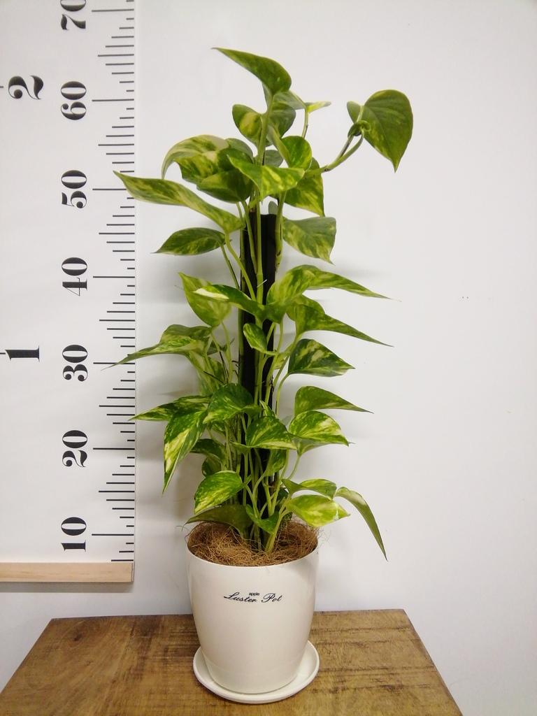 観葉植物 リビング 育てやすい(明るい日陰で育つ) 観葉植物 リビング 3点セット(4号×3)