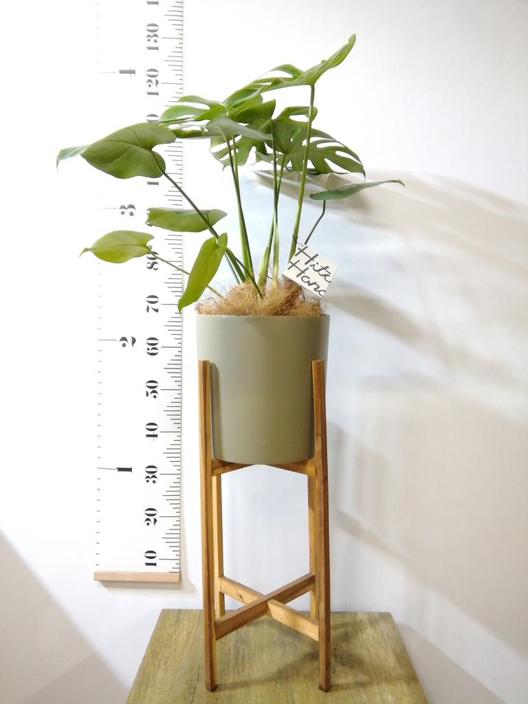 観葉植物 モンステラ 6号 ボサ造り ホルスト シリンダー オリーブ ウッドポットスタンド付き