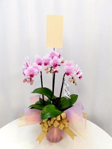 ミニ胡蝶蘭 ピンク 3本立ち テーブルタイプ