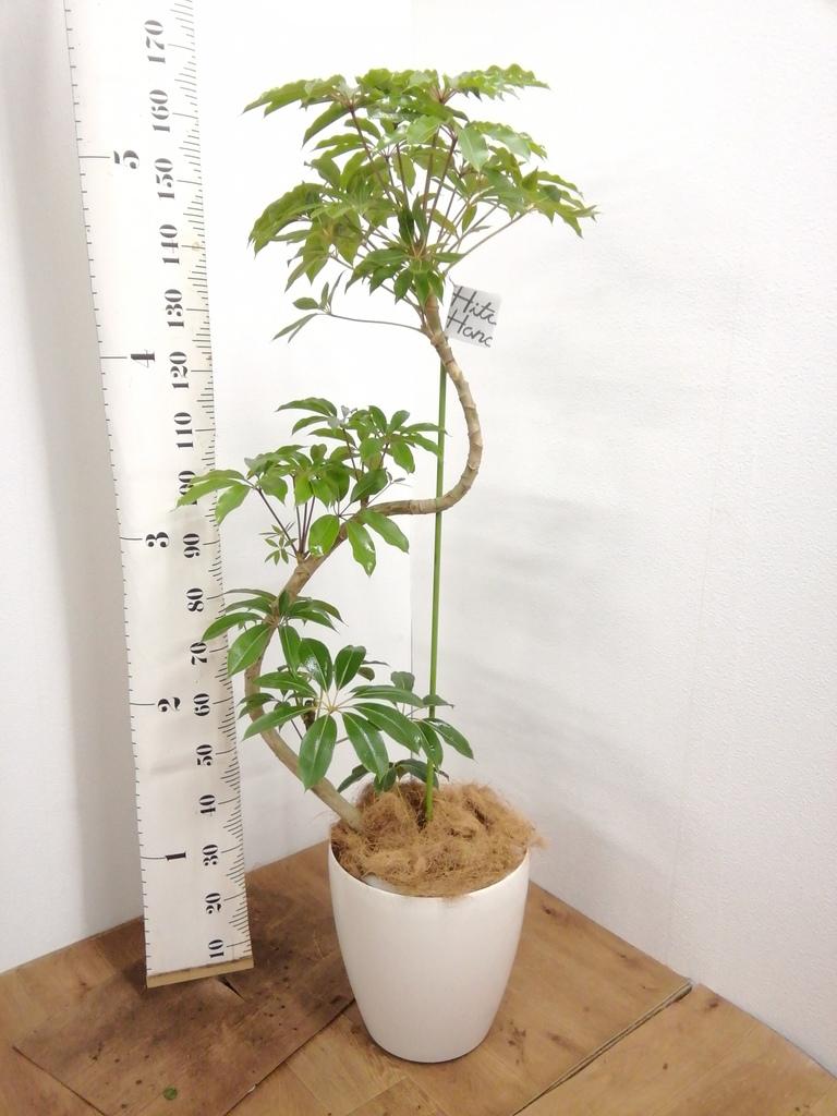 観葉植物 ツピダンサス 10号 曲り ラスターポット 付き