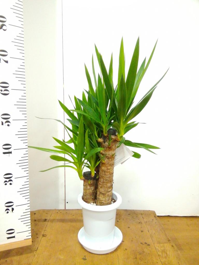 観葉植物 ユッカ 6号 ノーマル プラスチック鉢
