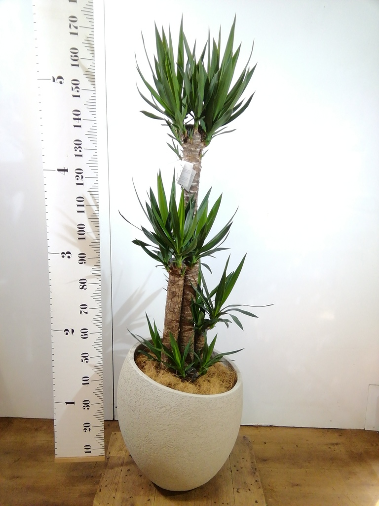 観葉植物 ユッカ 10号 ノーマル エコストーンLight Gray 付き