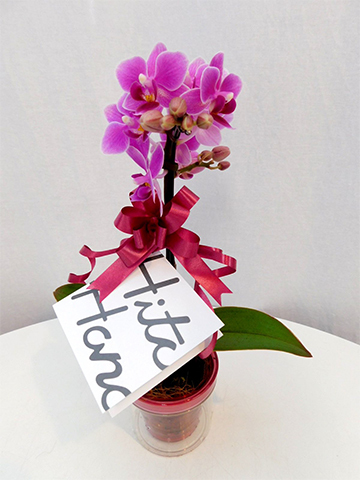 ミニ胡蝶蘭 ピンク 1本立ち アクアポット付き