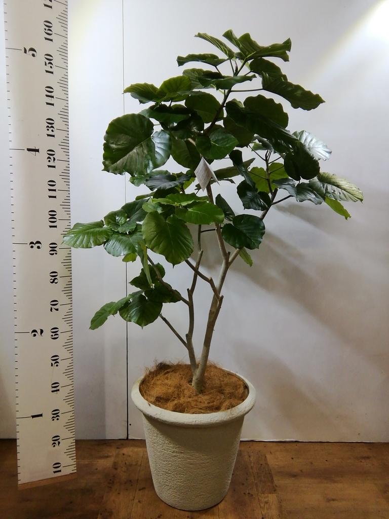 観葉植物 フィカス ウンベラータ 10号 ノーマル ビアスリムス 白 付き