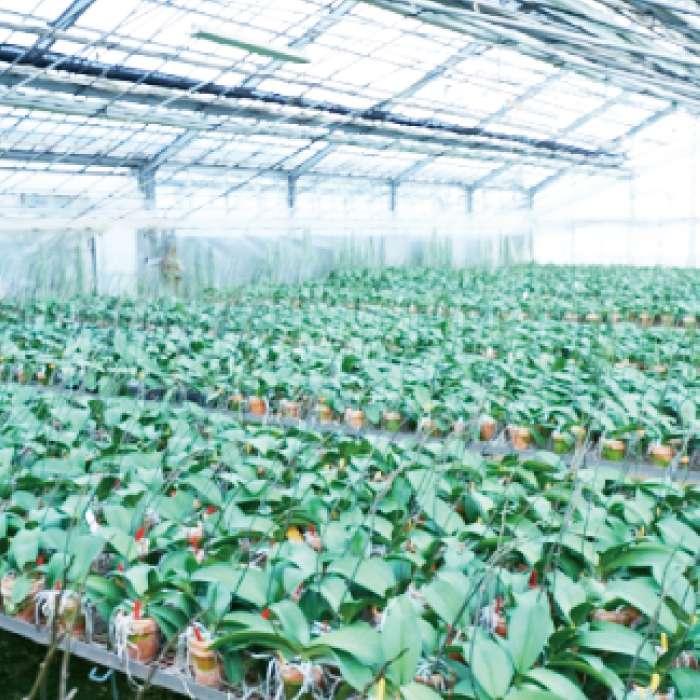 一年を通して安定して高品質の  胡蝶蘭を供給できる栽培技術