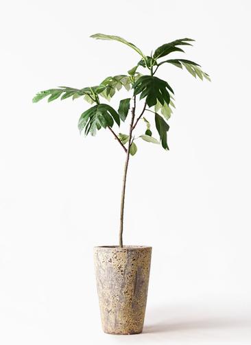観葉植物 パンノキ 8号 アトランティス クルーシブル 付き