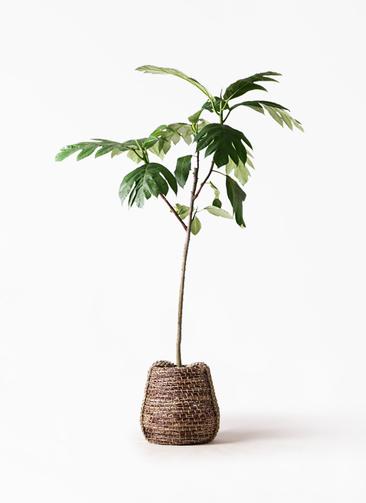 観葉植物 パンノキ 8号 リゲル 茶 付き