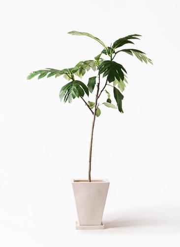 観葉植物 パンノキ 8号 スクエアハット 白 付き