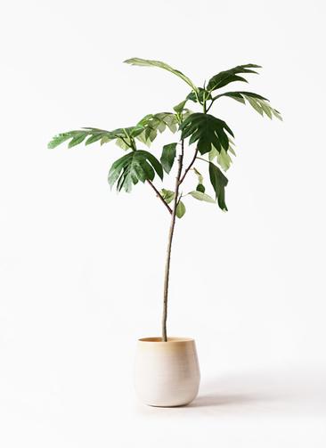 観葉植物 パンノキ 8号 ササール 白 付き
