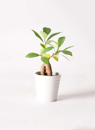 観葉植物 ガジュマル 3号 股仕立て プラスチック鉢