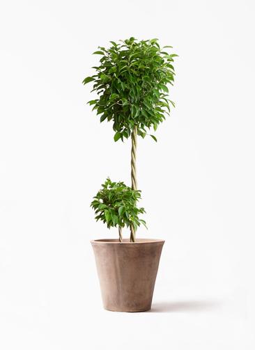 観葉植物 フィカス ベンジャミン 10号 玉造り ルーガ アンティコ ソリッド 付き