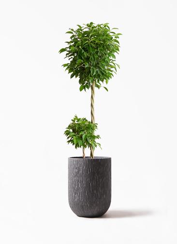 観葉植物 フィカス ベンジャミン 10号 玉造り カルディナトールダークグレイ 付き
