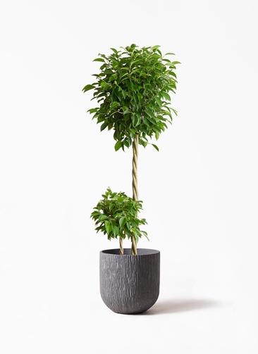 観葉植物 フィカス ベンジャミン 10号 玉造り カルディナダークグレイ 付き