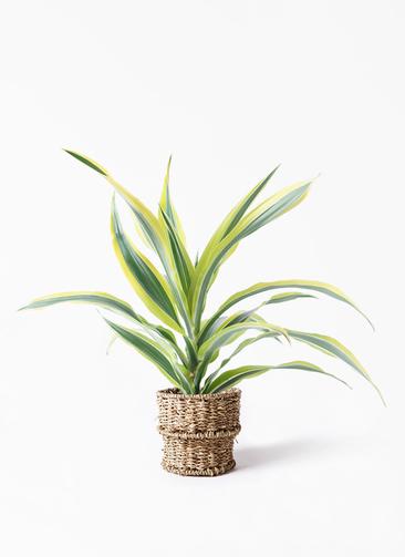 観葉植物 ドラセナ ワーネッキー レモンライム 4号 バスケット 付き