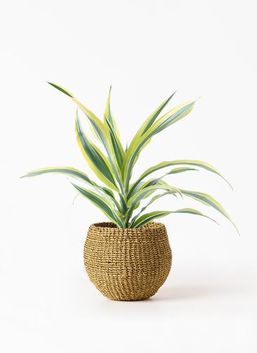 観葉植物 ドラセナ ワーネッキー レモンライム 4号 アバカバスケット オリーブ 付き