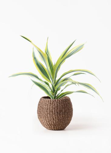 観葉植物 ドラセナ ワーネッキー レモンライム 4号 アバカバスケット スモーク 付き