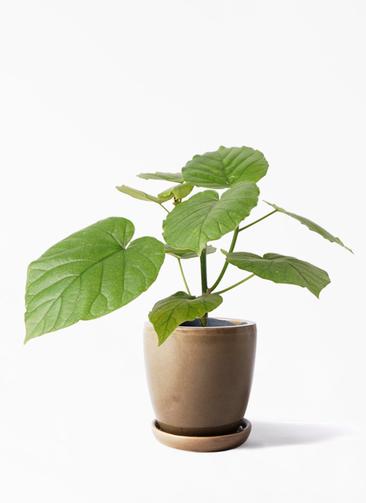 観葉植物 フィカス ウンベラータ 4号 ノーマル アステア トール ブラウン 付き