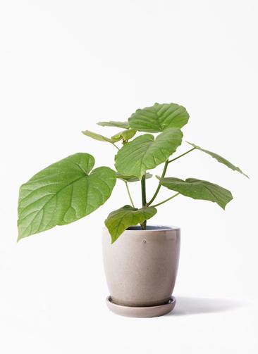 観葉植物 フィカス ウンベラータ 4号 ノーマル アステア トール ベージュ 付き