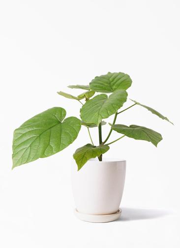 観葉植物 フィカス ウンベラータ 4号 ノーマル アステア トール ホワイト 付き