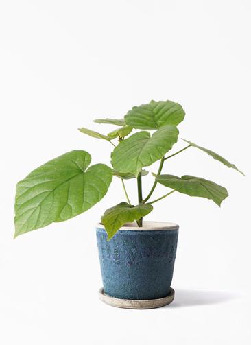 観葉植物 フィカス ウンベラータ 4号 ノーマル フェイバーポット ブルー 付き