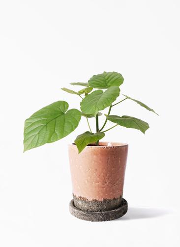 観葉植物 フィカス ウンベラータ 4号 ノーマル ヴィフポット サーモンピンク 付き