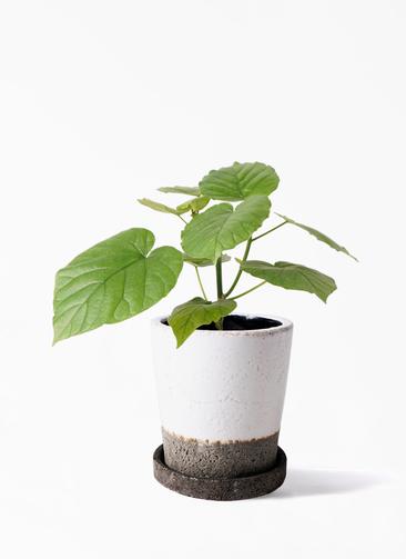 観葉植物 フィカス ウンベラータ 4号 ノーマル ヴィフポット ホワイト 付き