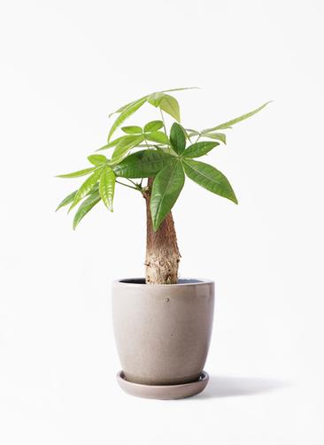 観葉植物 パキラ 4号 朴 アステア トール ベージュ 付き