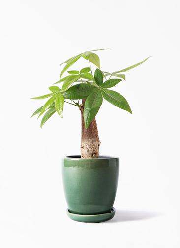 観葉植物 パキラ 4号 朴 アステア トール グリーン 付き