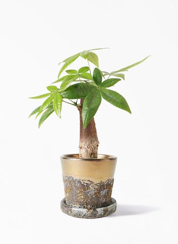 観葉植物 パキラ 4号 朴 ハレー ブロンズ 付き