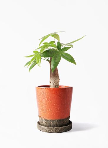 観葉植物 パキラ 4号 朴 ヴィフポット オレンジ 付き