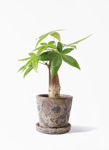 観葉植物 パキラ 4号 朴 ハレー カーキー 付き